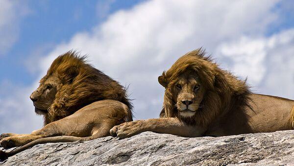 Lions on rock - Sputnik France