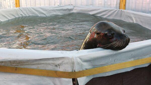 Un bébé lion de mer (image d'illustration) - Sputnik France