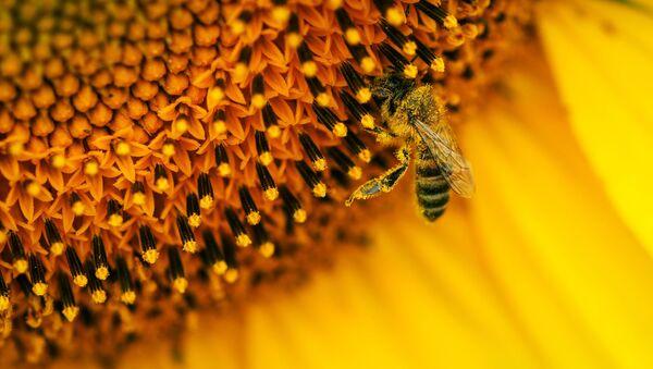 Des millions d'abeilles meurent au Mexique en quelques années - Sputnik France