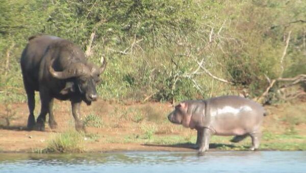 Ce bébé hippopotame courageux «attaque» un crocodile et un buffle - Sputnik France