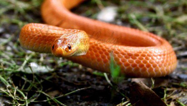 Serpent. Image d'illustration - Sputnik France