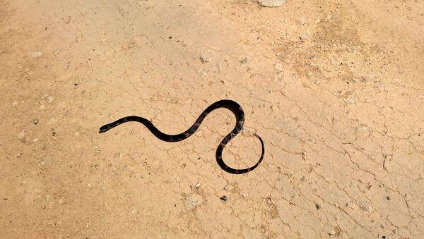Un serpent - Sputnik France