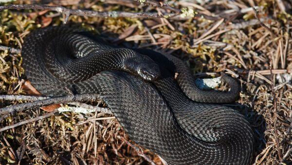 Serpent vipère змея гадюка - Sputnik France