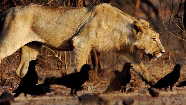 Lion asiatique - Sputnik France