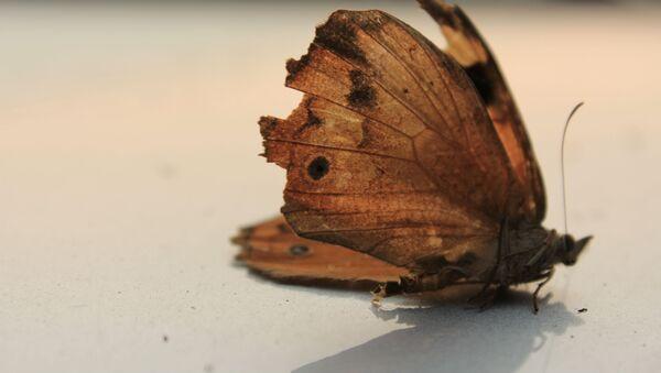 Un papillon mort - Sputnik France