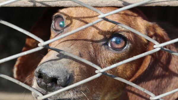 un chien triste - Sputnik France