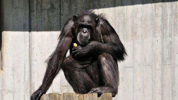 Chimpanzé, image d'illustration  - Sputnik France