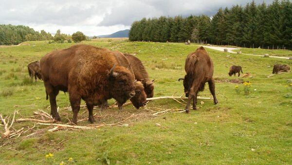 Des bisons européens (archive photo) - Sputnik France