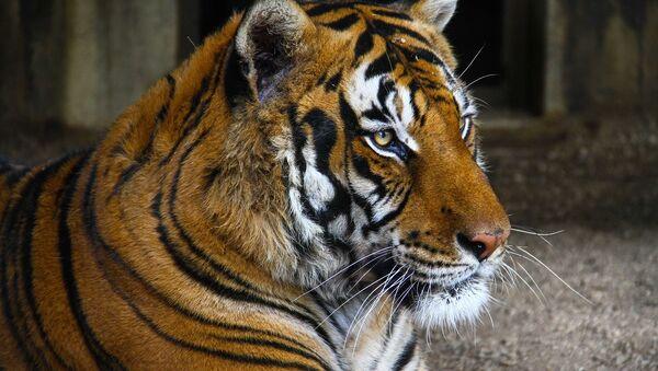 тигр - Sputnik France