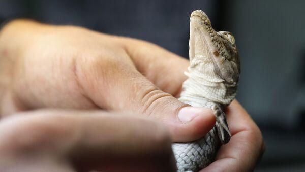 Des centaines de crocodiles du sud de la Floride se sont installés dans les canaux qui entourent une centrale nucléaire. - Sputnik France
