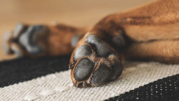 Des pattes d'un chien  - Sputnik France