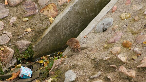 Un rat (image d'illustration) - Sputnik France