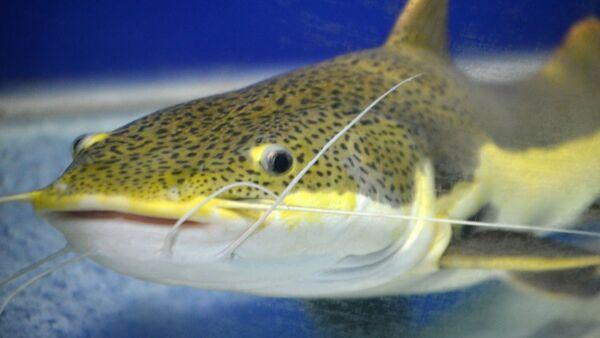 un poisson-chat  - Sputnik France