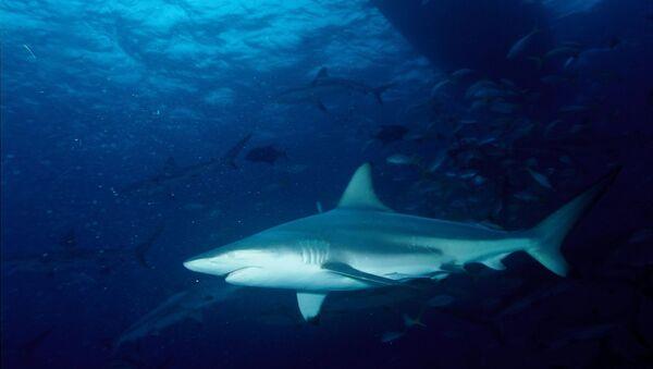 Un requin bordé - Sputnik France