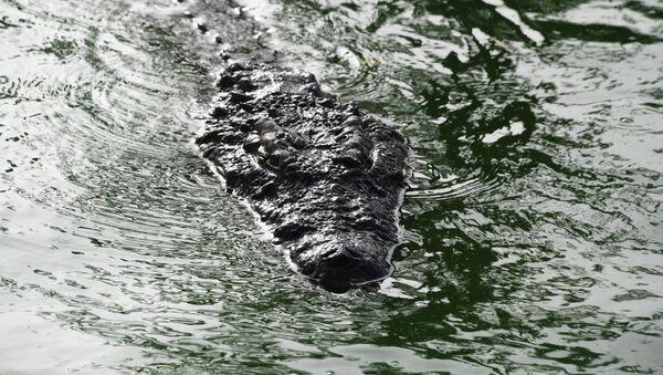 Crocodile dans l'eau - Sputnik France