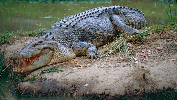 Un crocodile marin (image d'illustration) - Sputnik France