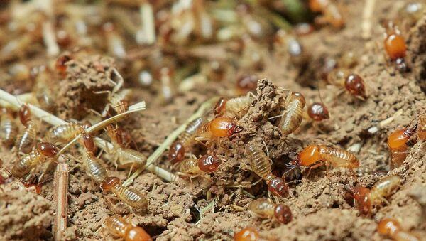 Termites - Sputnik France