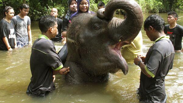 Kuala Gandah Elephant Conservation Center in Malaysia  - Sputnik France