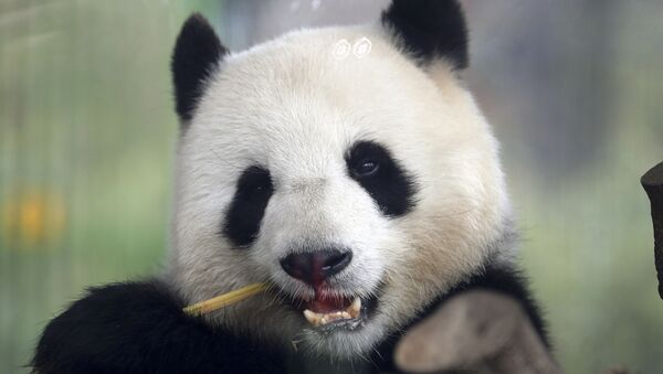 Panda Meng Meng  - Sputnik France