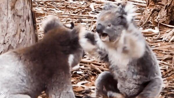 Insane moment two KOALAS get into a fight - Sputnik France