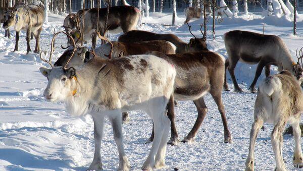 Des rennes en Laponie - Sputnik France