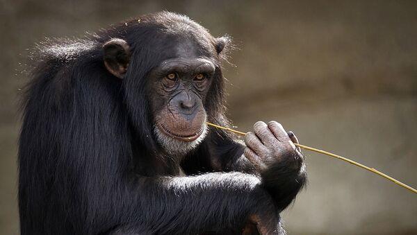 Chimpanzé - Sputnik France