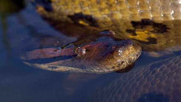 Un anaconda - Sputnik France