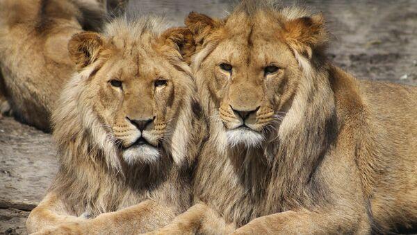 des lions львы - Sputnik France