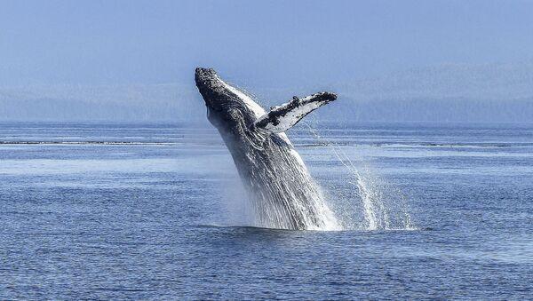 Горбатый кит - Sputnik France