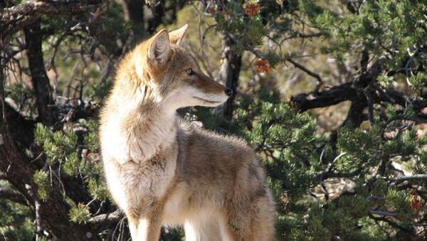 Un coyote - Sputnik France