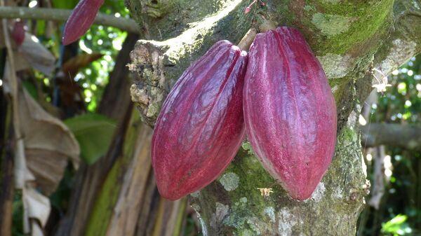 Récolte de cacao - Sputnik France