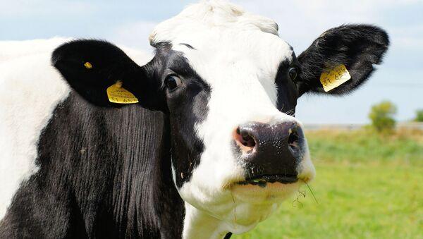 Une vache (image d'illustration) - Sputnik France