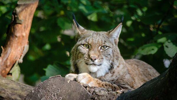Lynx (image d'illustration) - Sputnik France