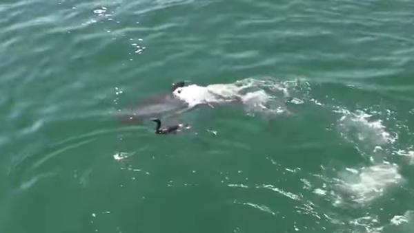 Un oiseau courageux s'échappe de la mâchoire d'un requin - Sputnik France