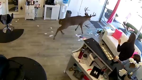 Un cerf passe chez le coiffeur - Sputnik France