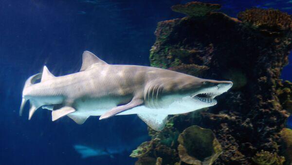 Shark - Sputnik France