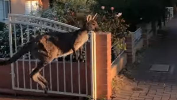 Un kangourou sort en courant sur la chaussée - Sputnik France