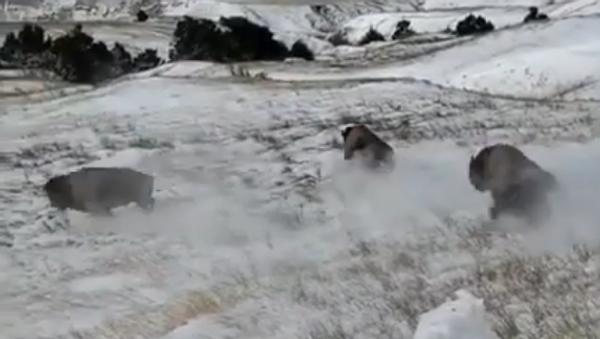 Des bisons sont mis en liberté dans le parc Badlands aux États-Unis - Sputnik France