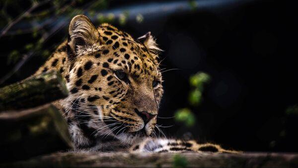 Un léopard - Sputnik France