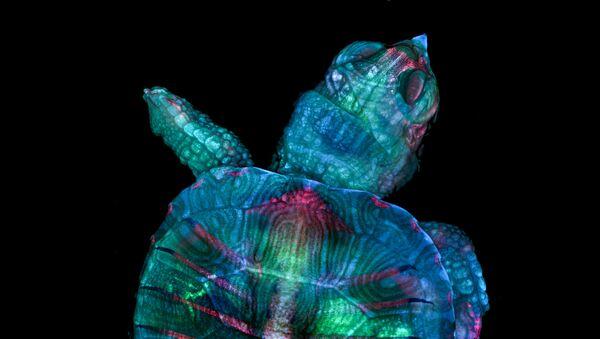 Снимок Fluorescent turtle embryo американских фотографов Teresa Zgoda & Teresa Kugler, ставший победителем в фотоконкурсе Nikon Small World 2019 - Sputnik France