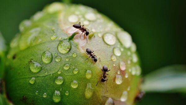 des fourmis - Sputnik France