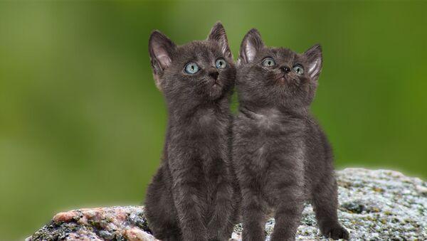 Deux chats (image d'illustration) - Sputnik France