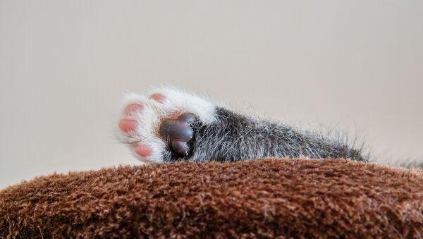 Patte d'un chaton - Sputnik France