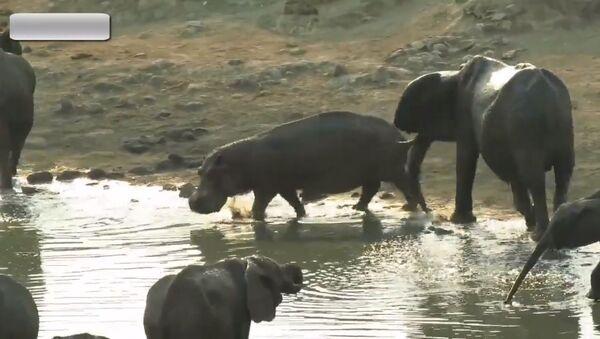 Voici ce qui se passe quand un hippo se faufile entre des éléphants - Sputnik France