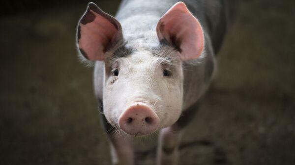 Porc - Sputnik France