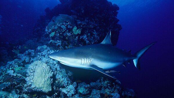 Requin gris de récif  - Sputnik France