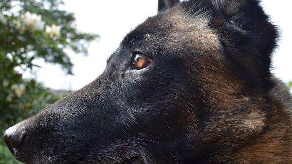 un chien de race berger malinois - Sputnik France