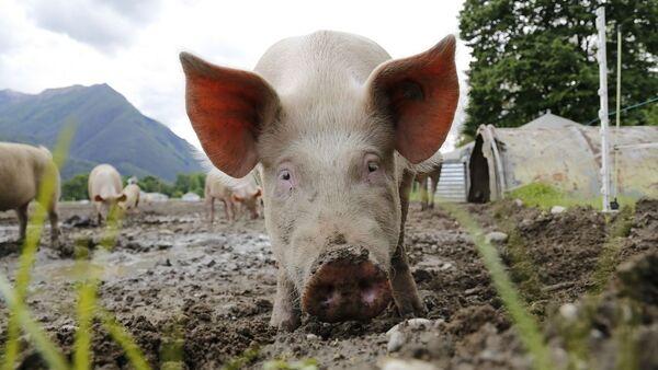 Des porcs  - Sputnik France
