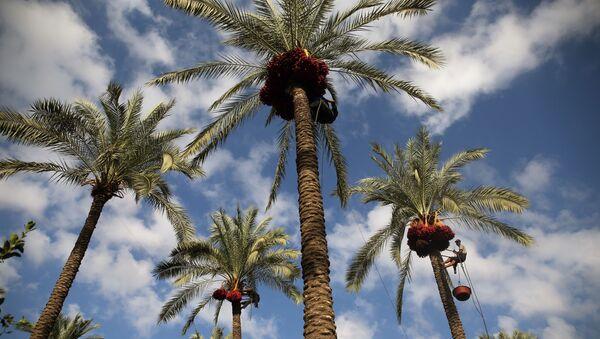 Des palmiers dattiers - Sputnik France