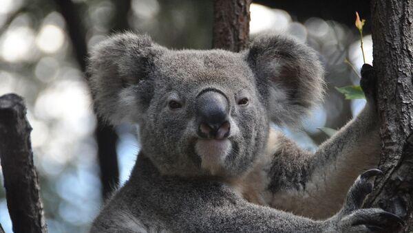 koala - Sputnik France